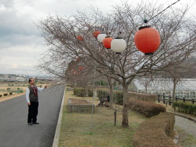 橋本市の紀ノ川北岸の桜並木に飾られた提灯