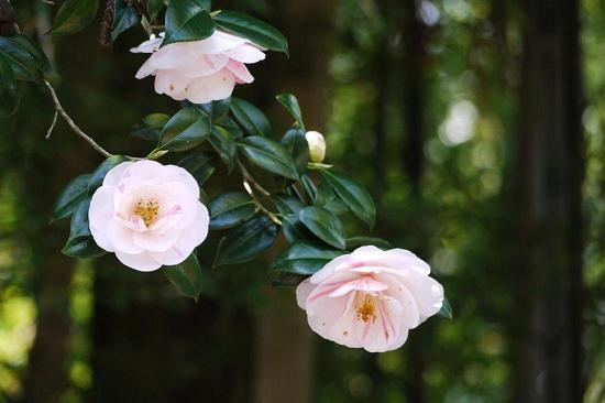 美しく咲いた「五色八重散椿」