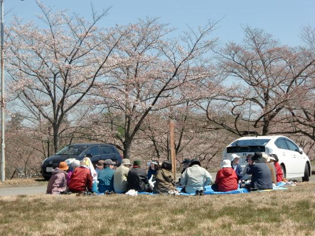 大勢が円陣になり桜の下で食事(橋本カントリークラブ前で)