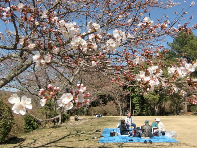 「杉村公園」高台の広場に咲き初めた桜