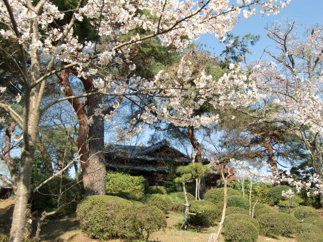 今、桜と鶯の杉村公園、昭和の家でゆったりと
