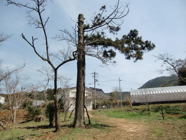 ひん死の状態から復活した丹生都比売神社の杉