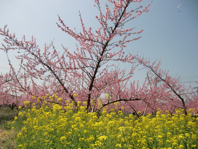 桃の花に菜の花の色も添えて春爛漫