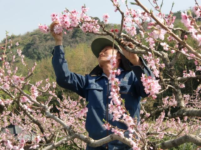 桃の摘花に忙しい京川さん