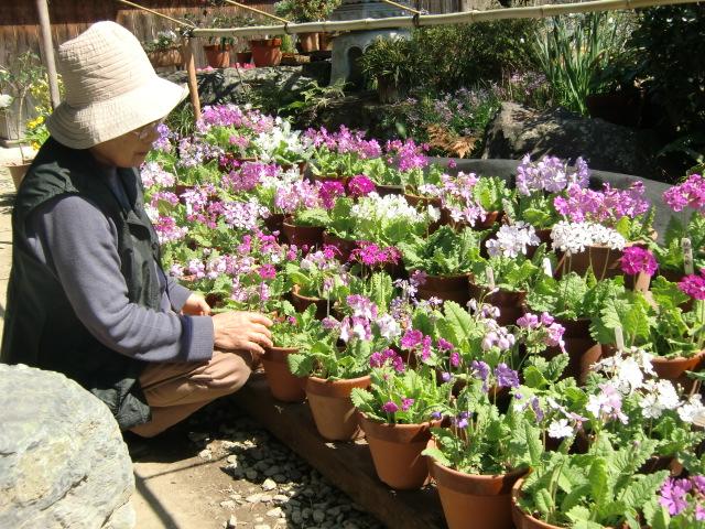 可憐に咲いた100種類の日本桜草と丹精に育てた櫻井さん