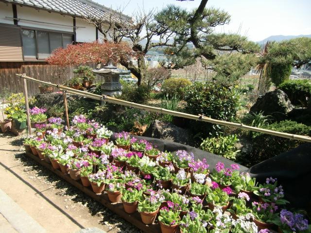 灯ろうや松の庭に彩りを添える日本桜草