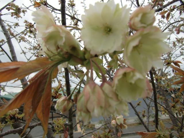 特別養護老人ホームの庭に咲きはじめた{御衣黄)