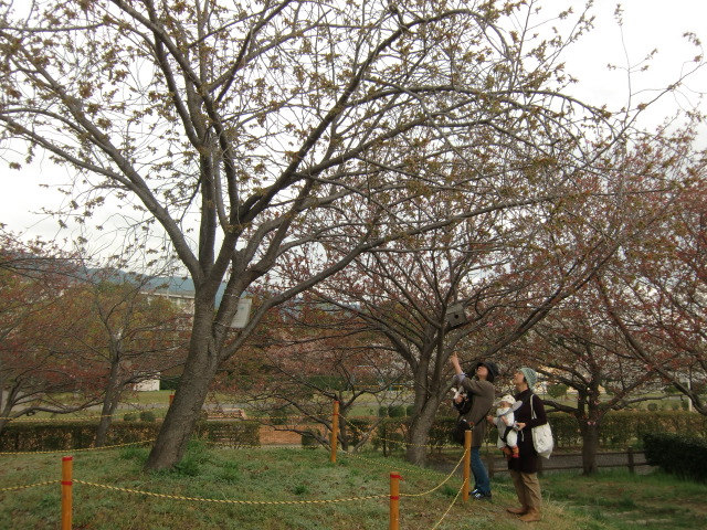 城山中央公園で咲きはじめた「御衣黄」を楽しむ女性たち