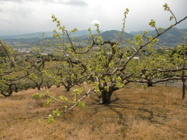 柿畑の遠くに高野山系の山々が見える