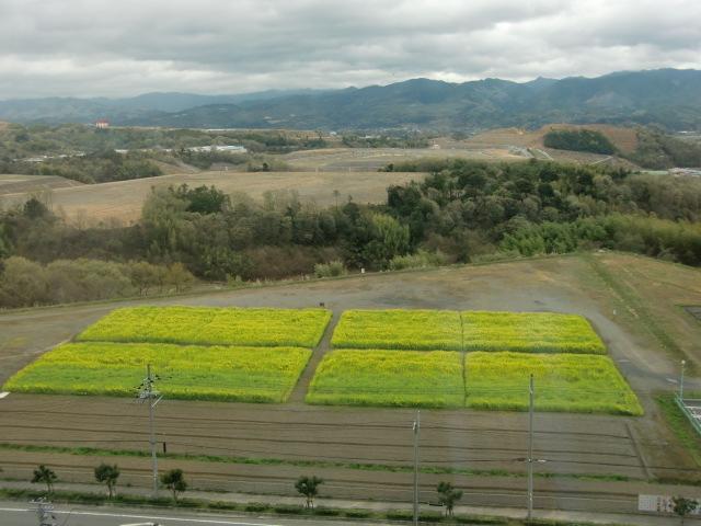 橋本市民病院の窓から眺めた菜の花畑
