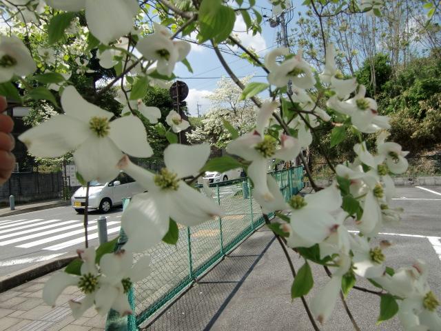 橋本川の堤防のハナミズキ並木に咲く紅色の花