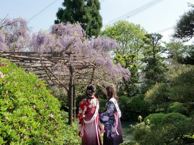 美しく咲き始めた九尺藤と観光客に笑顔を見せる藤むすめ
