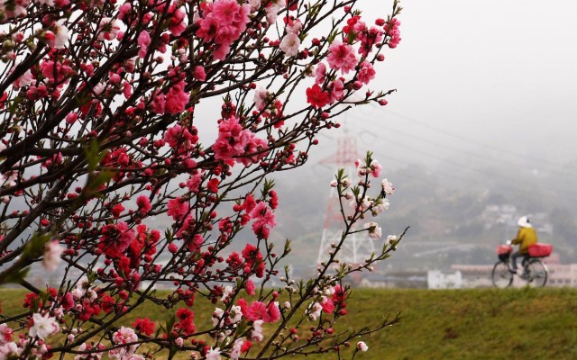 「源平桃の花、満開だよ~」橋本のレスト&カフェ前