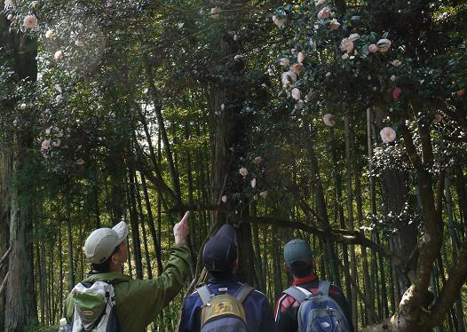 五色八重散椿を見上げる高野山参詣登山者ら
