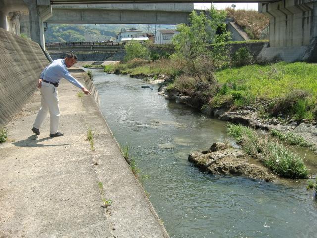 大きな真鯉が元気よく泳ぐ橋本川