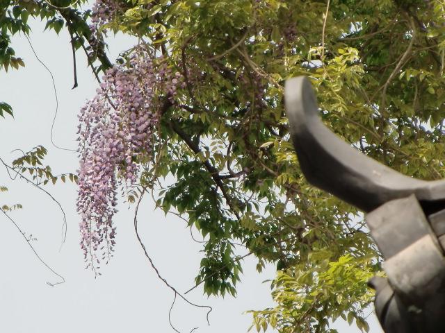 樹齢300歳の藤の古木に咲いた薄紫の花房