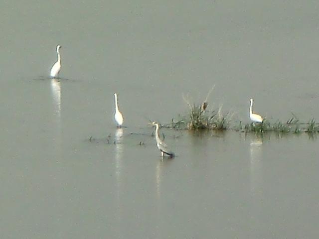 黄砂の中、紀ノ川でえさをついばみ水浴びする白鷺の群れ