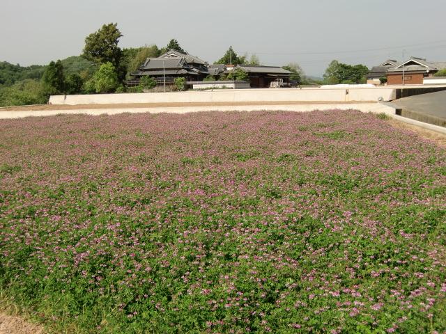 紅紫色の花が満開のげんげ田(橋本市恋野で)