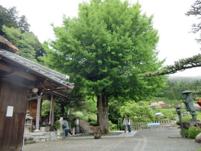 青々と茂る堀越観音のイチョウの大樹