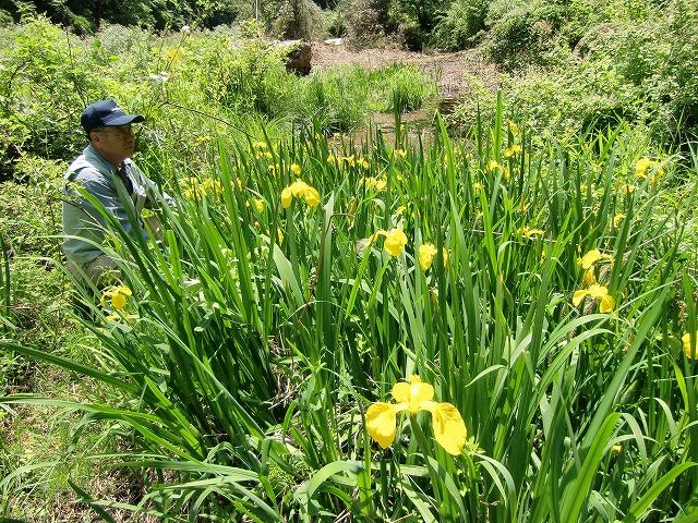 玉川峡に咲いたカキツバタ