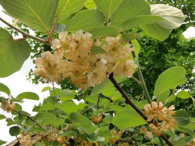堀江さん宅の垣根として清楚に咲いたキュウイの花(メス)