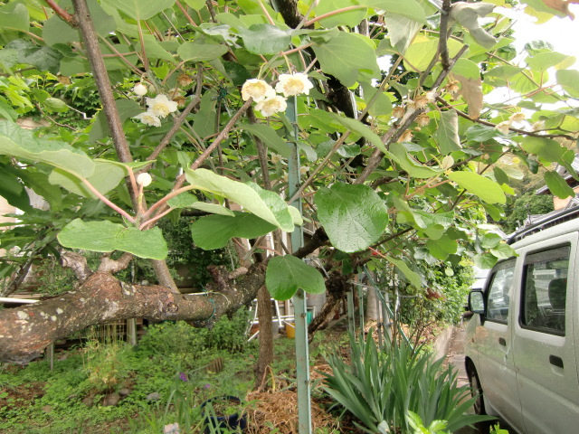 堀江さんの庭の垣根として咲いたキュウイの花