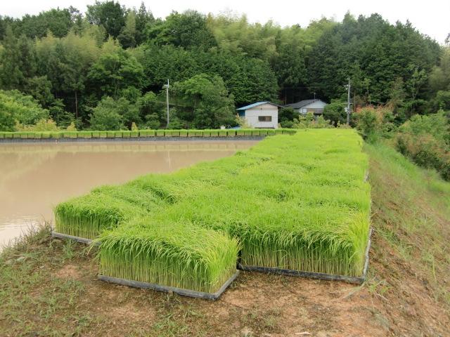 水田の畦道に用意された恋野米の苗の束