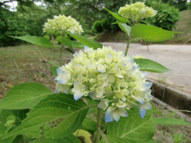 10日ごろに開花を始めるとみられるアジサイのツボミ
