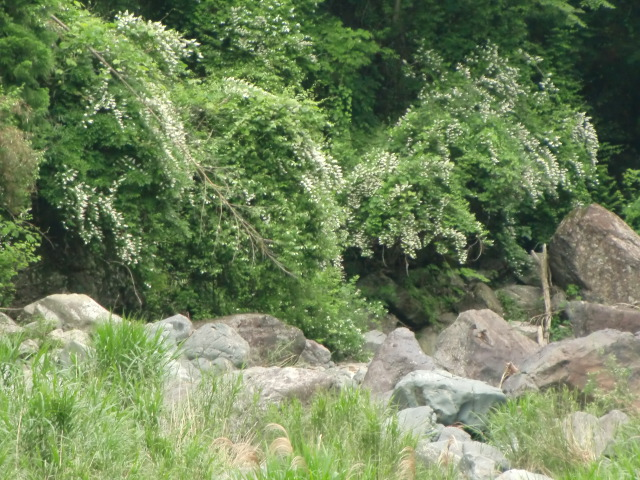 花垣でもあり小滝でもあるような満開の卯の花
