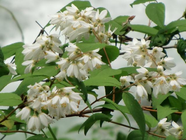 玉川峡で満開の卯の花