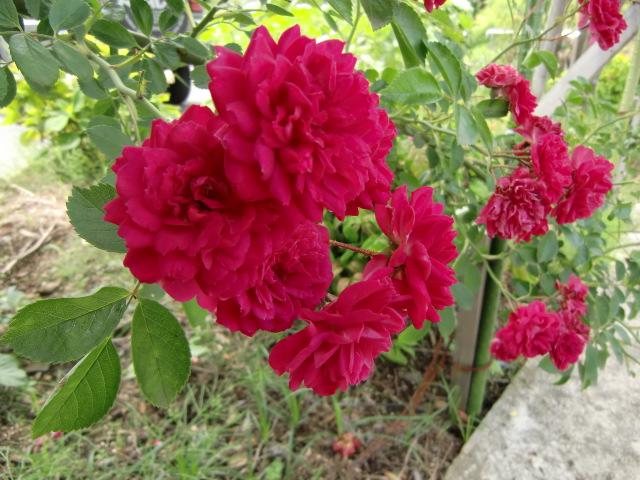 真っ赤に咲いたバラを楽しむ車イスのお年寄り