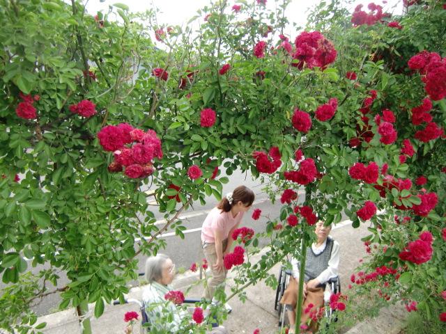 バラの垣根8メートル満開~老婦人車イス見物