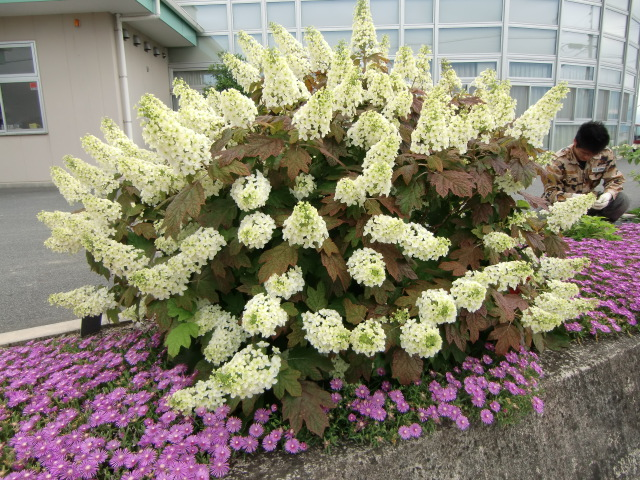「夢あじさい」の玄関わきに咲いた松葉菊