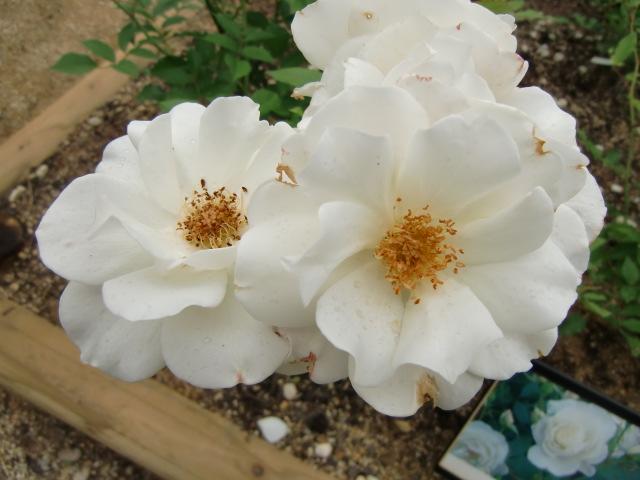 下古沢駅の花壇に美しくさいた白いバラ