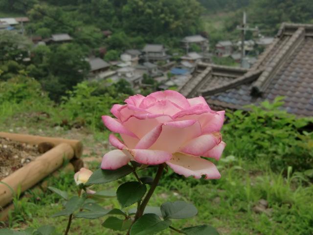 下古沢の在所を見おろすように咲いたピンクのバラ