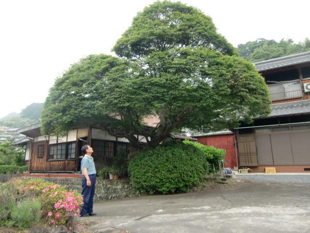 威風堂々モミジ巨樹~昔、紙漉きの里・下古沢