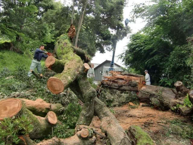 市道に倒れた椎の巨木を除去する作業員ら