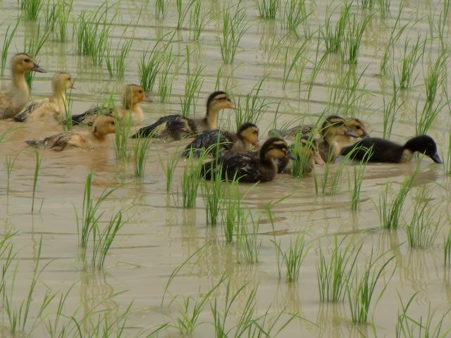 一団となって水田を泳ぎ回るアイガモたち