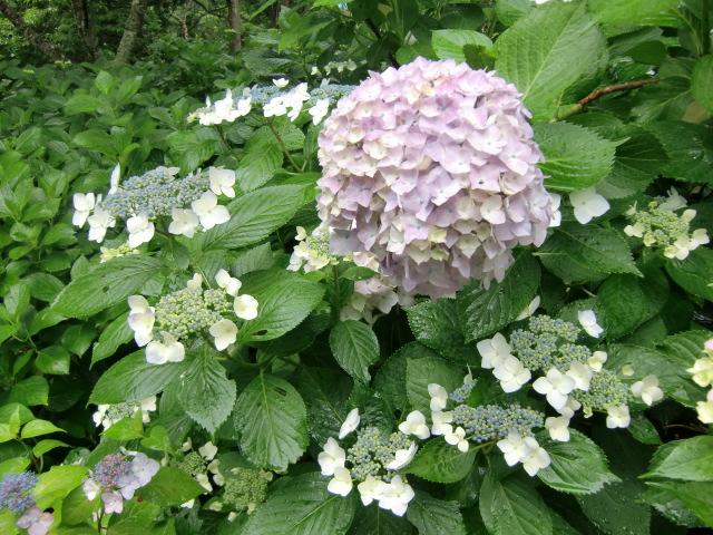 大きな花鞠のまわりに額アジサイも咲いている