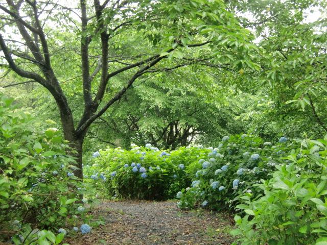 青く咲いたアジサイの群れ