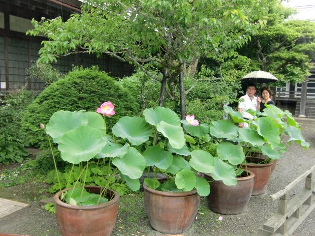 沢山ツボミがある蓮花院の大賀ハス
