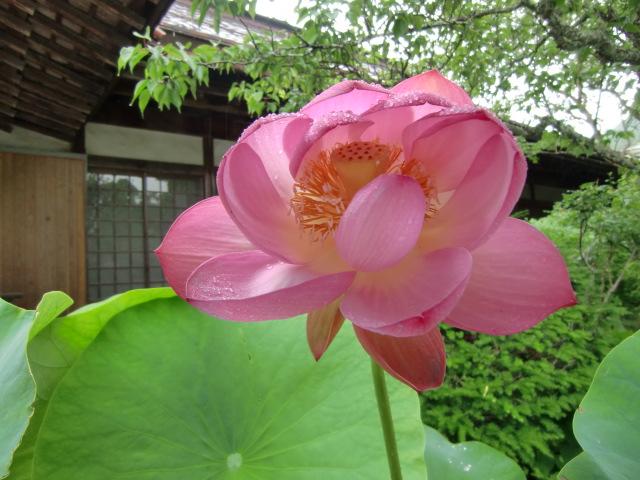 美しく咲いた蓮華院の大賀ハス