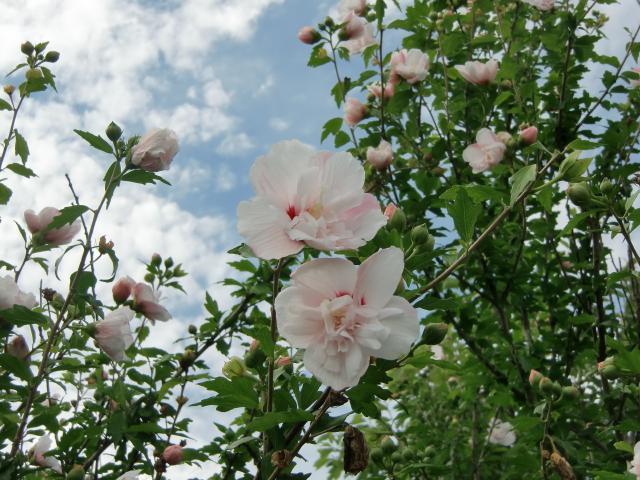 花槿の上にも梅雨明けの空