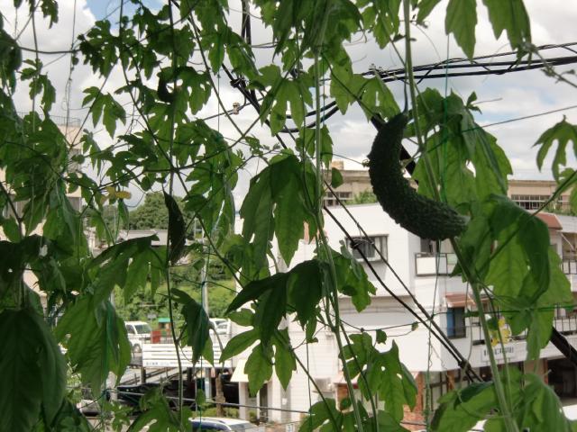 緑のカーテン状になり、きゅうりのような実をつけたゴーヤ(橋本市役所2階で)