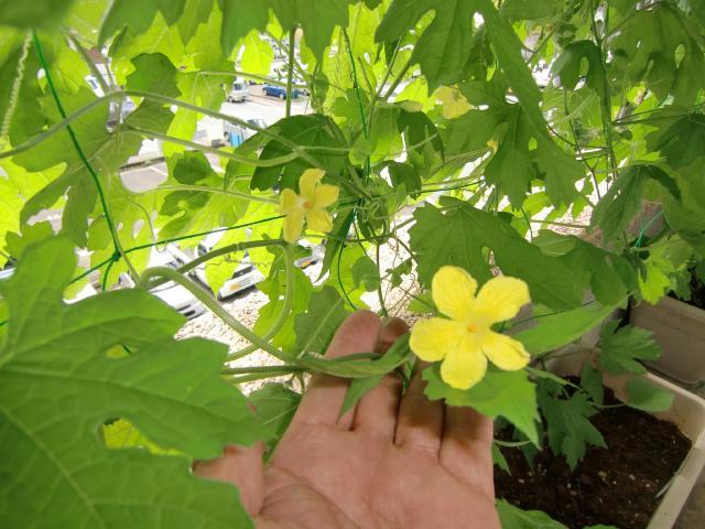 可憐に咲いたゴーヤの花