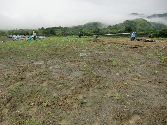 ひまわり畑に変える7000平方メートルの土地