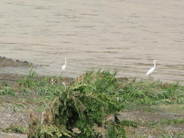 紀ノ川の濁流を眺める白鷺たち