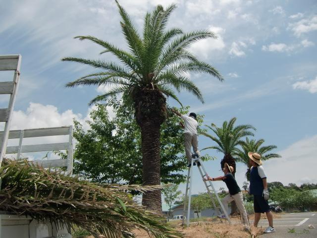 フェニックスの古い枝葉を落とす特養職員ら