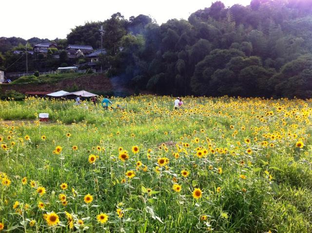 一面に美しく花が咲いた山田さんのひまわり畑