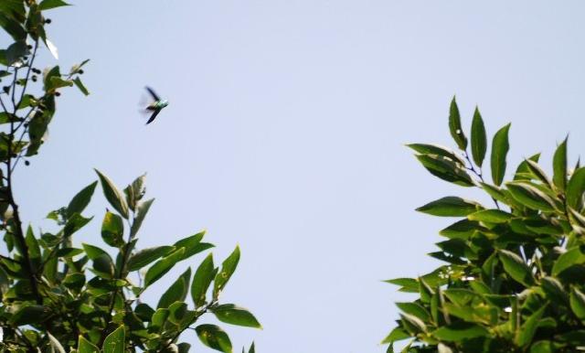 エノキの間を猛スピードで飛翔するヤマトタマムシ